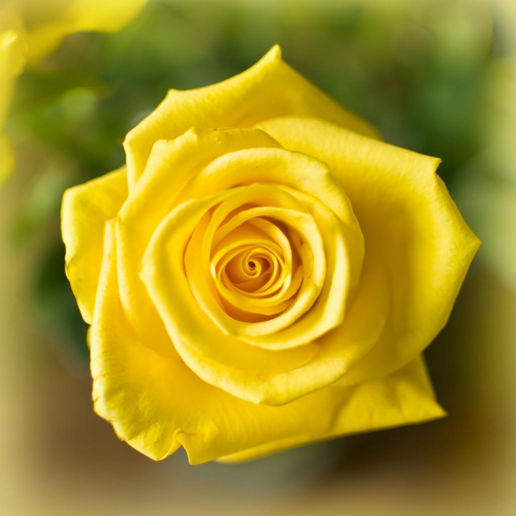 Aquinas St Marys Catholic Schools Yellow Rose 10241024